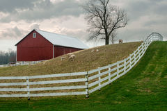 Old Wisconsin Dairy Farm, Sheep. Sheep graze in the pasture at an old, vintage Wisconsin dairy farm out in the country. A white fence and red barn are also in Stock Images