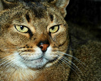 Old Wise Cat. Close up portrait of an old abyssinian cat Stock Photos