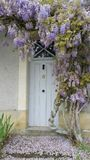 Old wisteria creeper growing around house door. Old pale purple wisteria creeper with gnarled and twisted trunk growing around old wooden house door with front Stock Photography