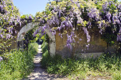 Old wisteria flowering on old wall in Rhodes island. Old beautiful wisteria flowering on old wall in Rhodes island royalty free stock photo