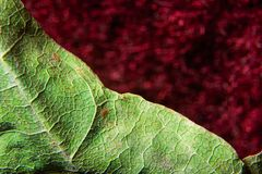 Old withered curve tree leaf macro on a red background. Old withered curve tree leaf  on a red background Royalty Free Stock Photography