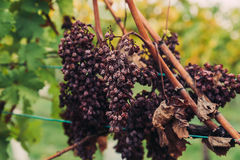 Old Withered Grapes at a Winery Royalty Free Stock Images