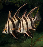 Old Wives (Enoplosus armatus) - Busselton Jetty Stock Image