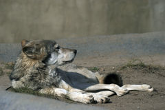 Old wolf. Rests upon land and peers into distance Royalty Free Stock Image