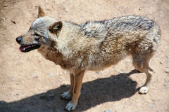 Old wolf. The canines. Wildlife. Predator forests and steppes Stock Image