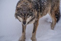 Old Wolf Royalty Free Stock Photography