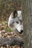Old Wolf Peeking from behind a Tree Stock Photos