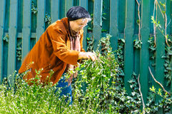 Old woman care garden Stock Images