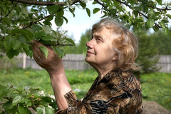 The old woman considers pear flowers Royalty Free Stock Photography