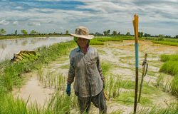 Old woman farmer is collecting rice sprout. In Sukhothai, Thailand Royalty Free Stock Images