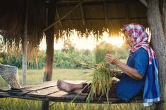 Old Woman Farmer Sitting At Cabin In Rice Field Stock Photography