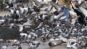 Old Woman Feeding Pigeons on the Street in Slow Motion. Old Woman feeding pigeons on the street. Slow Motion in 96 fps. Crowd of pigeons at the feet of a man on stock footage