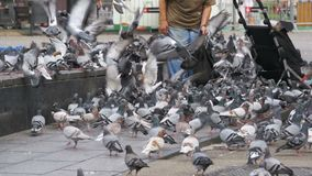 Old Woman Feeding Pigeons on the Street in Slow Motion. Old Woman feeding pigeons on the street. Slow Motion in 96 fps. Crowd of pigeons at the feet of a man on stock video
