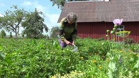 Old woman gather colorado beetle from potato plant  garden. 4K stock footage