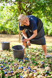 Old woman harvesting plums Stock Images