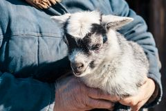 An old woman in her arms is a little goat. have toning. Family baby love child person girl summer kid nature face spring animal cute young livestock small stock images