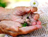 Old woman holding a plant. Old hands and young plant Royalty Free Stock Photos