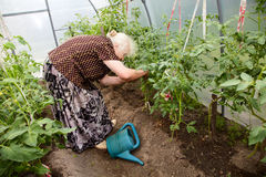 The old woman in a hothouse at bushes of tomatoes Stock Image