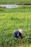 Paddy field, Vietnam. Old woman with a hunched back working in a green paddy field in Vietnam Stock Image