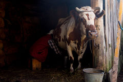 Old woman is milking a cow in a wooden house Royalty Free Stock Photo