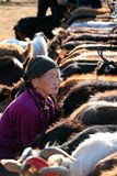Old woman milking goats, Mongolia. Woman and goats in Nomad Camp based at Hogno-Tarna Uul, Bulgan province, Mongolia. Hogno-Tarna Uul is a an elevation standing Stock Image