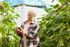 Old woman picking cucumbers up at farm greenhouse Royalty Free Stock Images