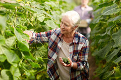 Old woman picking cucumbers up at farm greenhouse Stock Photography