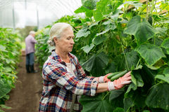 Old woman picking cucumbers up at farm greenhouse Stock Photo