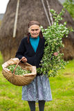 Old woman picking hawthorn flowers Royalty Free Stock Images