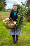 Old woman picking hawthorn flowers Stock Images