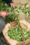 Old woman picking hawthorn flowers Stock Image