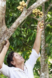 Old woman picking long kong fruit from  tree Stock Photography