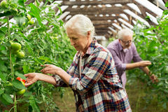 Old woman picking tomatoes up at farm greenhouse Royalty Free Stock Images