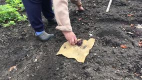 Old woman plants beans in the ground of the garden. Putting the seeds in the ground. stock video footage