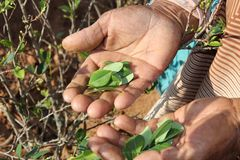 Old woman showing coca leaves Stock Images
