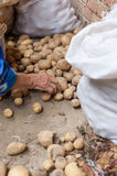 Old woman is sorting potatoes. In summer Stock Photography