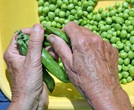 Old woman take off the green peas from pods Royalty Free Stock Image