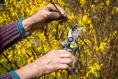 Old woman using garden pruner, spring background Stock Image