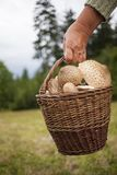 Old woman holding a basket of parasol mushrooms Royalty Free Stock Image