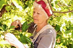 Old woman in the yard gardening Royalty Free Stock Images