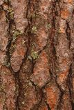 Old wood bark texture or background. Red pine tree.  royalty free stock photo