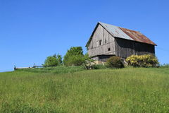 Old wood barn with roses. Wood and metal barn on hillside. Spring time yellow roses blooming. Bright blue sky and green grasses Royalty Free Stock Image