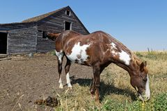 Horse and old wood barns and stables. A horse and old wood barns and stables in North dakota countryside stock photos