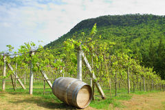 Old wood barrel  in the vineyard Royalty Free Stock Image