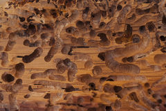 Old wood eaten by bark beetle Royalty Free Stock Photo