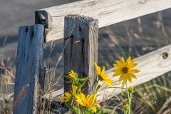 Old Wood Fence Being taken over by Weeds. Here is a view of some old fencing and construction that is being taken over by weeds and flowers. Nature is turning stock photography