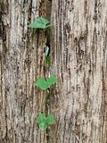 Old wood fence with Cucurbitaceae Stock Photography
