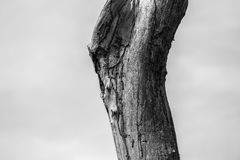 Old wood. Have a curve shape. It is abstract black and white royalty free stock images