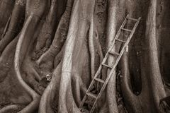 Old wood ladder with banyan roots background, stairway to heaven. Holy tree Stock Images