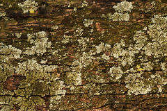 Old wood with lichen Stock Images